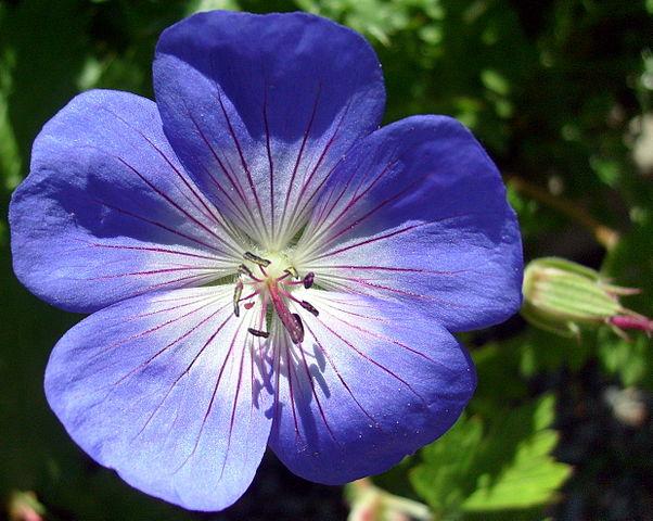 Cranesbill Geranium vibrant purple flower