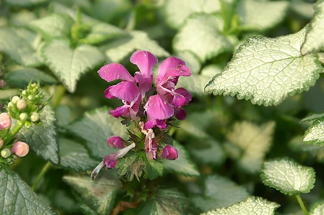 Small purple flower on Purple Dragon Dead Nettle plant