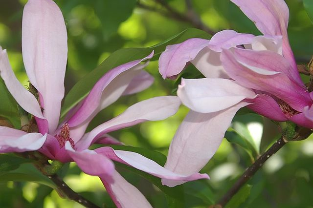 Betty Magnolia gorgeous purple/white flowers in bloom