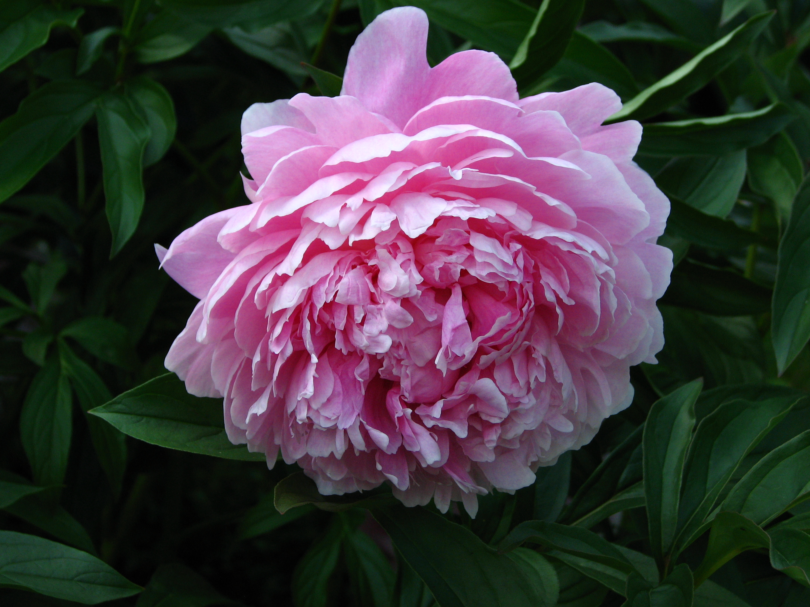 Gorgeous large double pink flower bloom on Sarah Bernhardt Peony