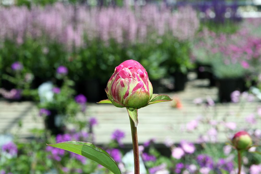 Karl Rosenfield large peony bud about to open