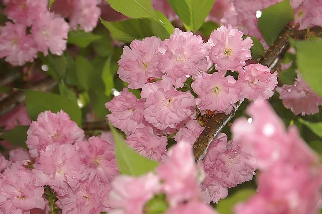 Kwanzan Cherry magnificent double pink flowers