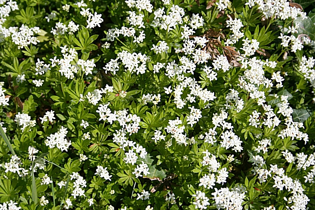 Sweet Woodruff in full bloom