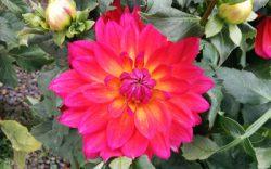 Dinner plate Dahlia flower
