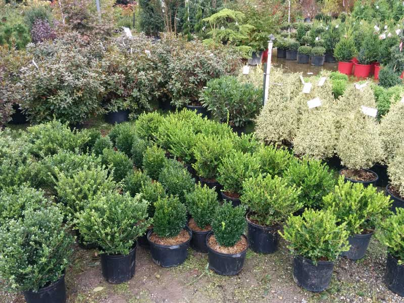 PJM Rhododendrons and Boxwoods