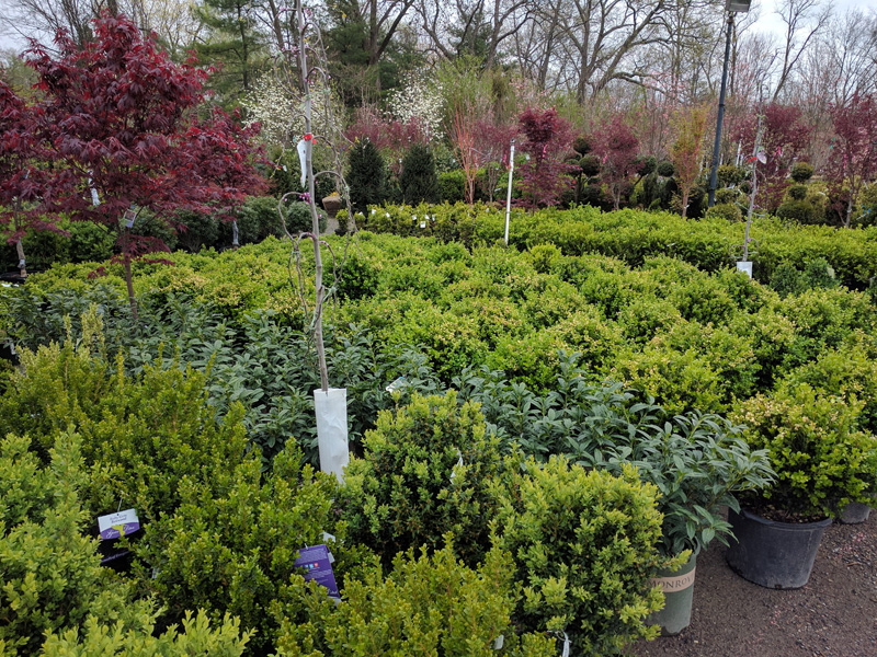Boxwoods and Japanese Maples