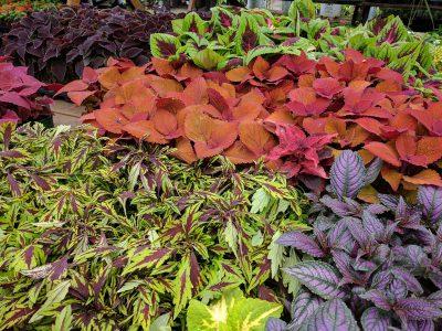 Mixed Coleus plants