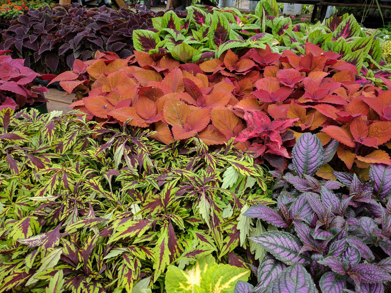 Mixed Coleus plants