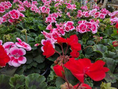 Geranium plants in flower