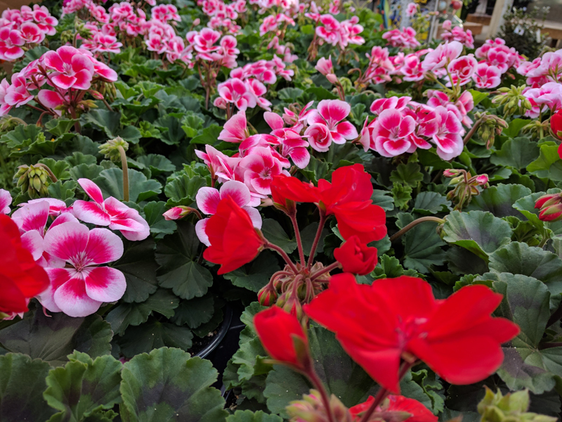 Geranium plants in flower