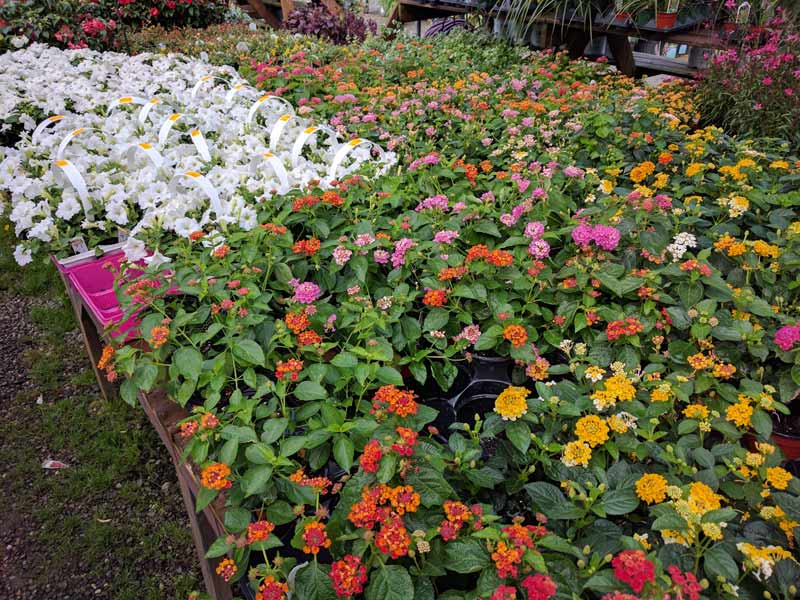 "4"" Lantana and some white petunias"