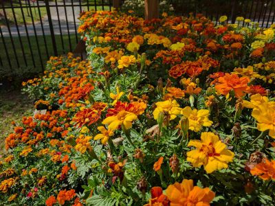Marigold plants in flats