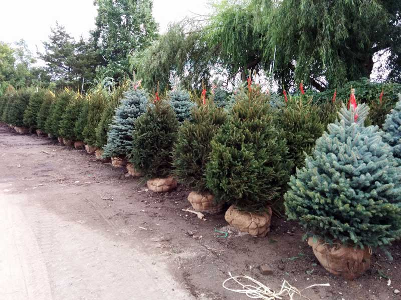Norway and Blue Spruce