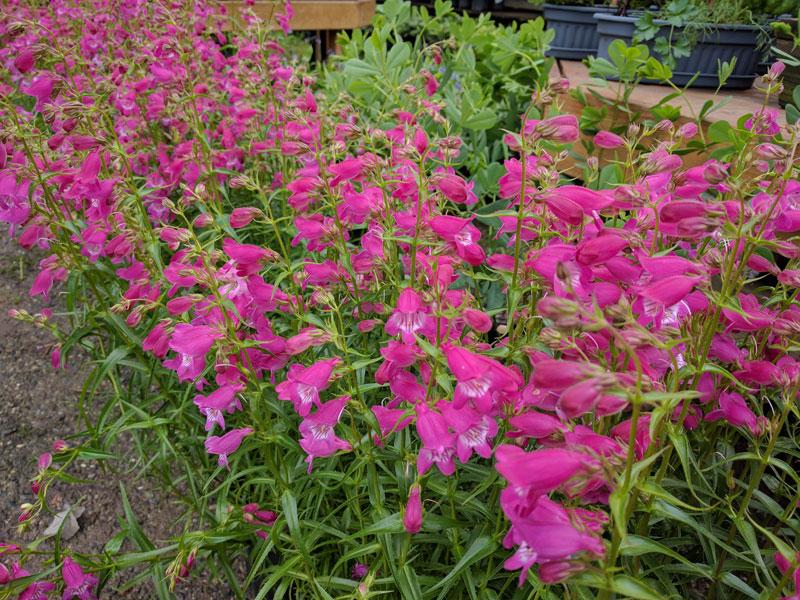 Pennstemon Hybrid in flower