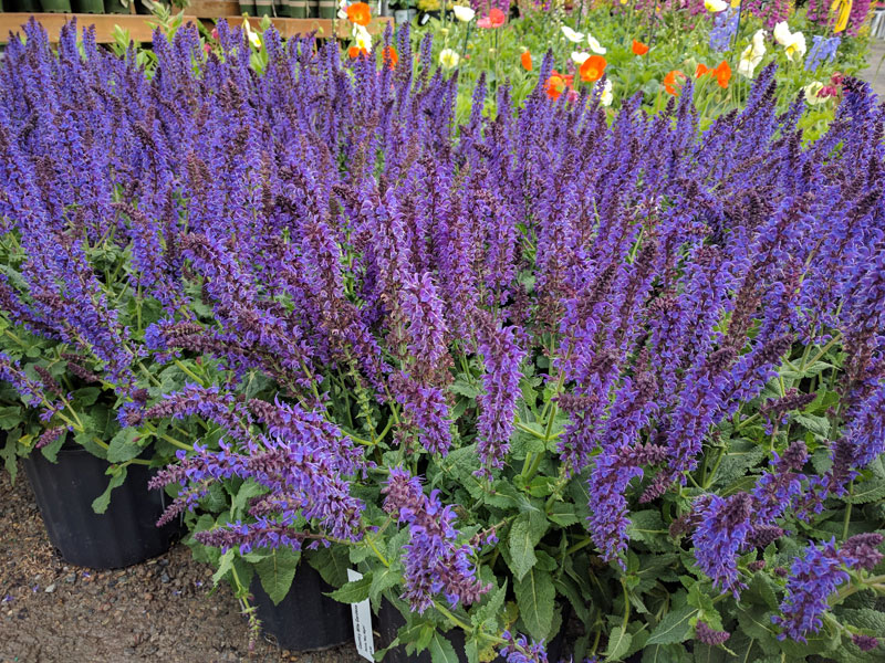 May Knight Salvia in full flower.