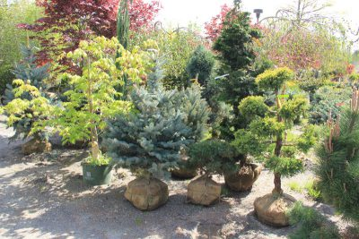 Specimen trees and shrubs including spruces, pines, maples, and cedars.