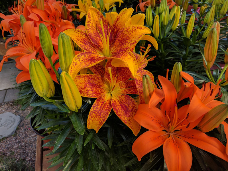 Asiatic Lily in flower.
