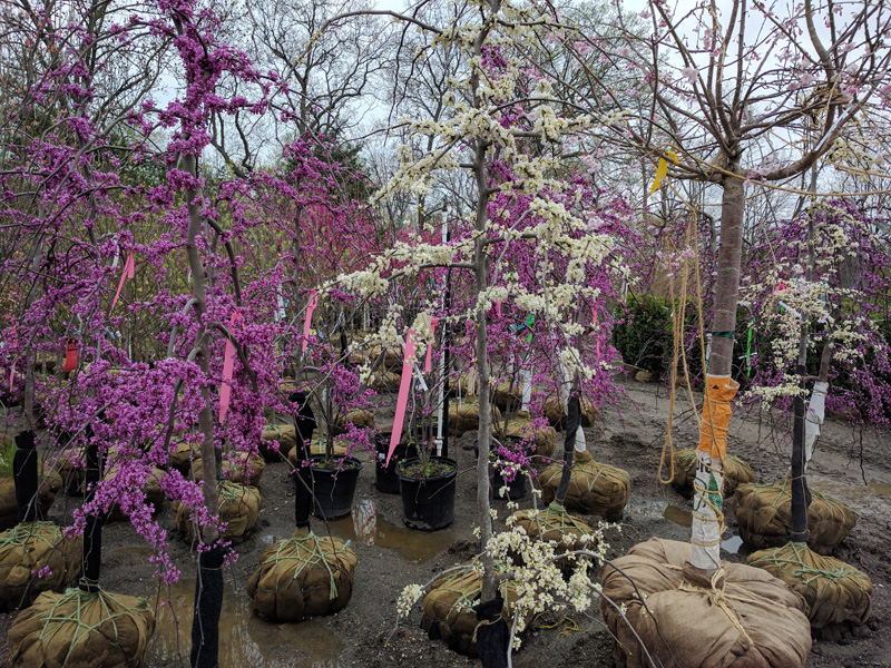 Weeping white and pink Redbuds