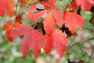 A photo of the fall color of Acer Griseum or Paperbark Maple