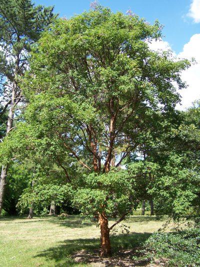 A mature Acer Griseum Paperbark Maple