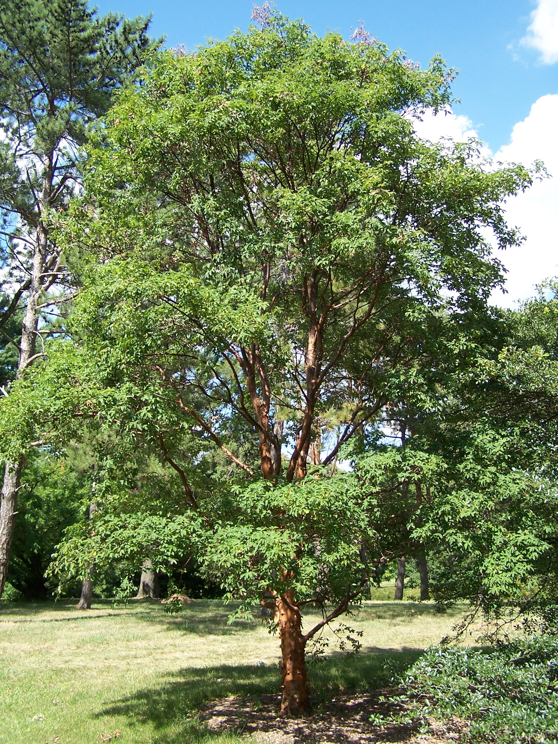 A mature Acer Griseum Paperbark Maple