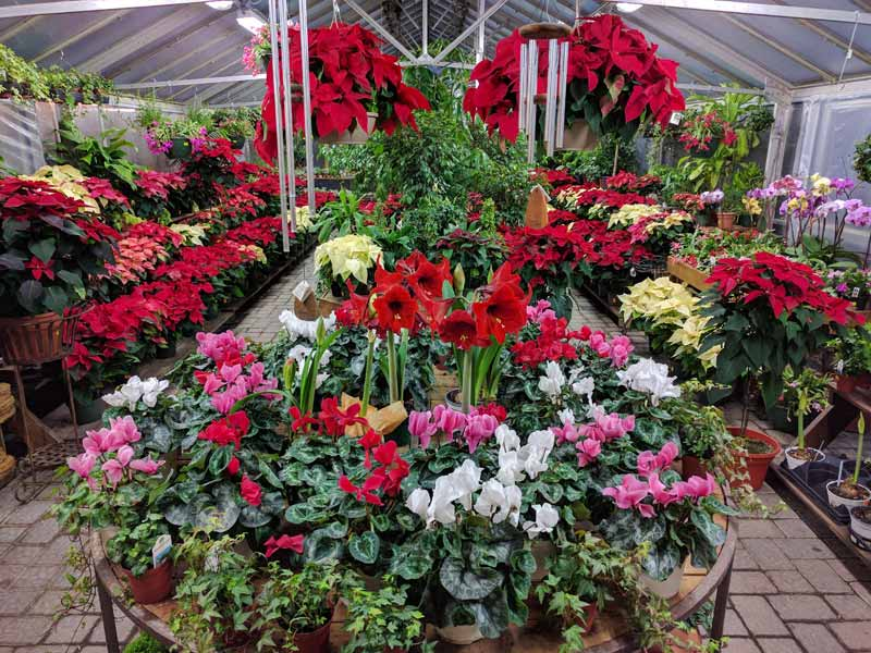 Photo of Amaryllis, cyclamen and poinsettias