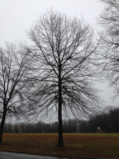 Pin Oak bare branches showing the branching pattern and overall shape of tree