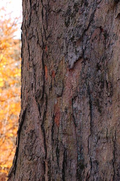 Sugar Maple Bark up close