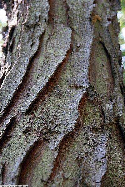 Shademaster Honey Locust Bark showing its thick plate like texture
