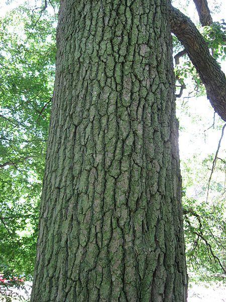 Black Tupelo bark texture of mature tree