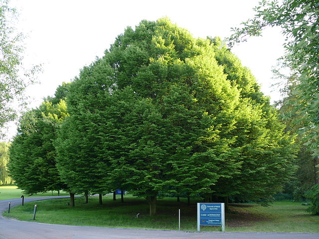 European Hornbeam Carpinus betulus overall shape of tree