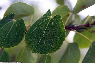 Katsura Tree Cercidiphyllum japonica leaf showing crenate leaf margins