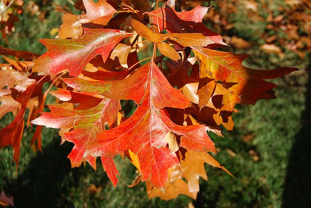 Pin Oak fall season leaf color