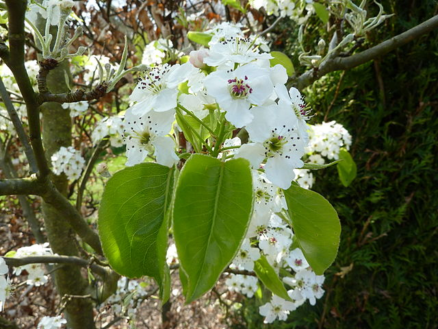 Cleavland Select Pear Pyrus calleryana 'Chanticleer' flowers in bloom with green foliage