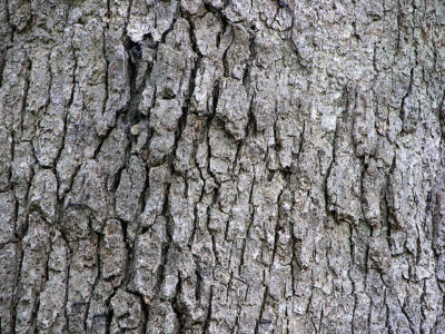 White Oak Quercus alba tree bark texture on mature tree