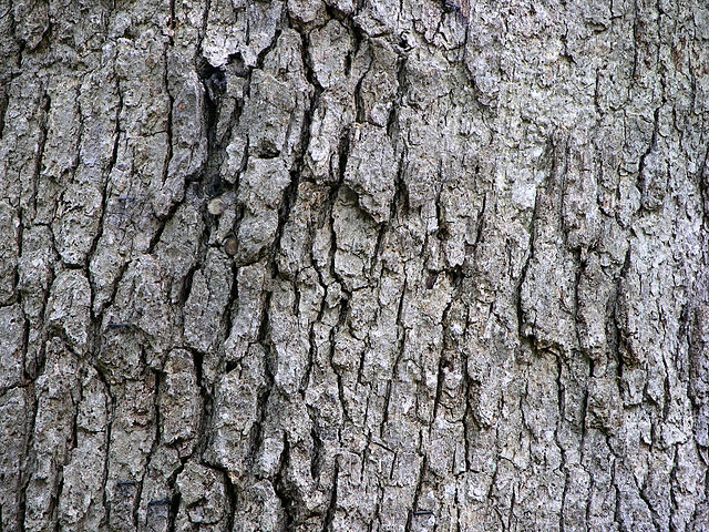 White Oak Quercus alba tree bark texture on mature tree
