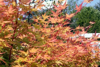 Sango Kaku Japanese Maple Fall Color