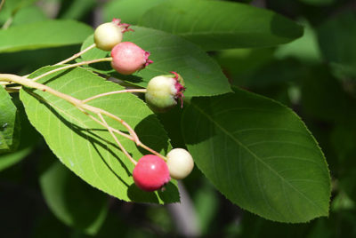 fruits of autumn brilliance shadblow serviceberry