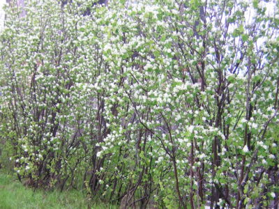 Amelanchier canadensis in full bloom with profusion of white flowers