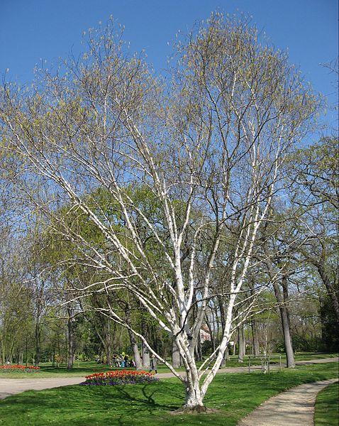 Whitebarked Himalayan Birch Betula Utilis Var