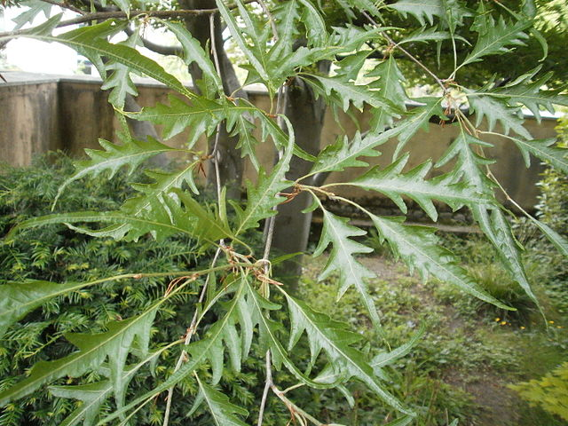 Threadleaf Beech leaf