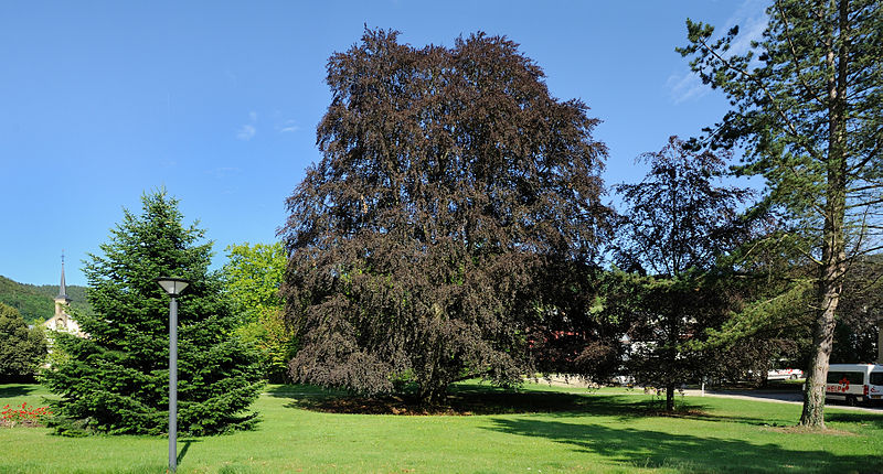 Copper Beech Specimen