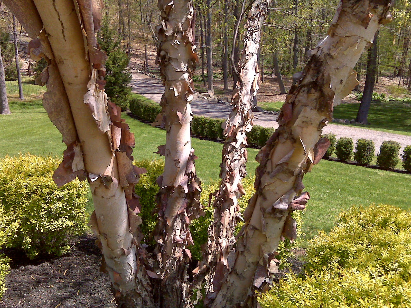 River Birch Multi Stem Bark