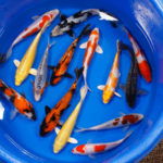 Assorted Standard Koi