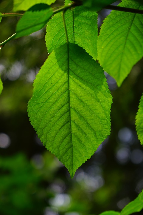 European Hornbeam leaf up close