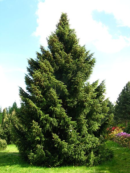 Serbian Spruce overall habit