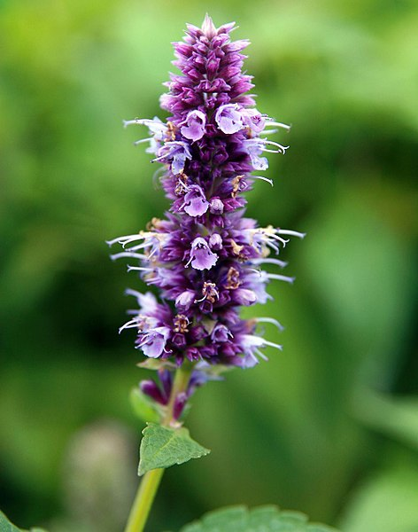 Blue Fortune Hyssop blue/violet flower bloom