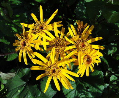 Ligularia flower blooms with foliage beneath