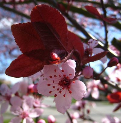 Thundercloud Plum tree stunning flower bloom and maroon/red foliage