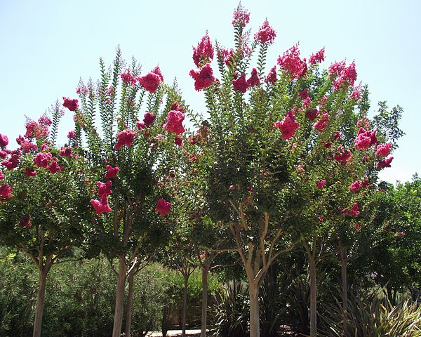 Tuscarora Crape Myrtle upright vase shaped habit with coral pink flower blooms against the green foliage